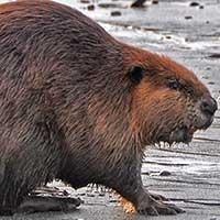 Rat Informant Beaver