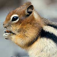 Rat Informant Chipmunk