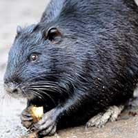 Rat Informant Muskrat