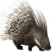 Rat Informant Porcupine